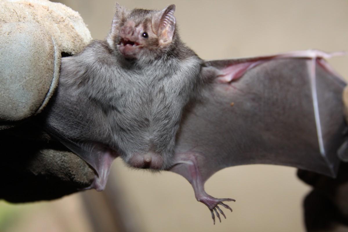Morcego vetor de transmissão de raiva